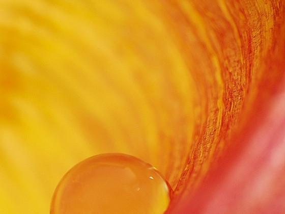 Wassertropfen im Inneren einer Tulpe