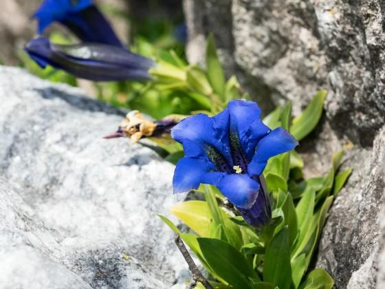 Enzianblüte