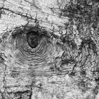 Das Auge oder nur ein Stück Birkenrinde...