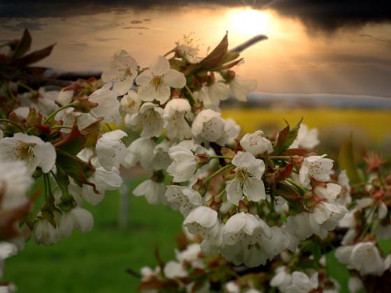 Kirschblüte spätnachmittags