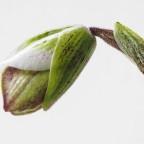 Kurz vorm Erblühen