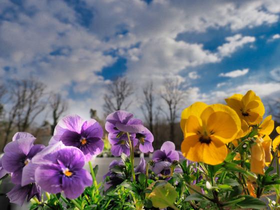 Stiefmuetterchen am Frühlingsbalkon 2